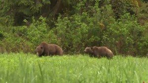 Grizzly bears appear for the first time on Vancouver Island