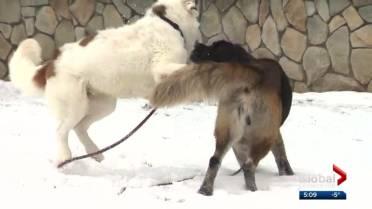 Trio of Saint Bernards at Edmonton Humane Society must be adopted