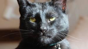 Mr. Biggles, 'utter bastard of a cat,' up for adoption in Melbourne