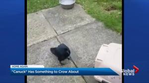 Canuck the crow is back home