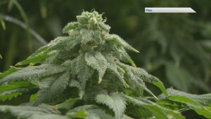 N.B. says cannabis delay could be costly
