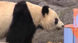 Toronto Zoo says goodbye to giant pandas