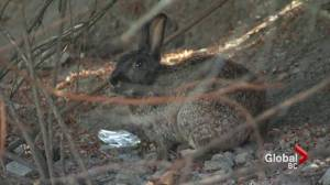 Province trying to catch 'bunny dumpers' in Victoria