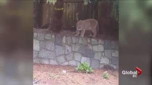 Trio of cougars caught on video in Coquitlam