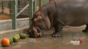 Hungry Halloween hippos: Calgary Zoo lays on the treats