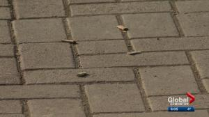 Edmonton streets littered with cigarette butts