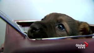 Calgary Humane Society caring for puppies abandoned in Calgary parking lot