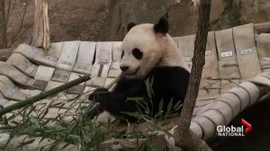 Washington Zoo gives huge sendoff for giant panda bound for China