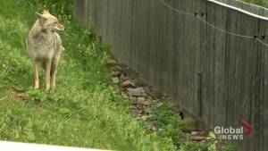 Montreal using scare tactics to manage coyotes