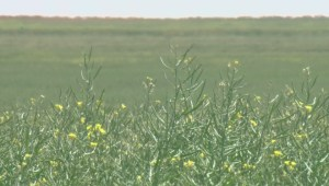 Dryland canola crops struggle in hot, dry southern Alberta conditions