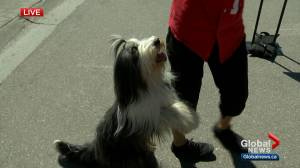 Dogs show off their skills at Calgary Stampede Dog Bowl