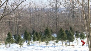Early frost causing shortage in Christmas trees