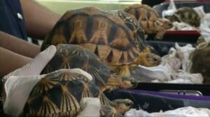 Malaysia seizes 330 smuggled endangered tortoises