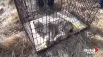 Rare Canadian Lynx captured in Michigan