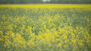 Recent moisture has Saskatchewan farmers feeling more optimistic (01:42)
