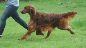 Show dog dies from poisoned meat after returning from Crufts Dog Show