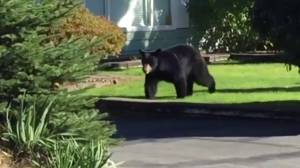 Coquitlam mayor talks about bear activity in his city