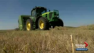 Saskatchewan ranchers concerned about cost of hay as drought conditions continue