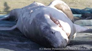 Great White Sharks killed by orcas wash up on South African shore
