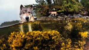 Protecting the elusive sea wolves of the Great Bear Rainforest