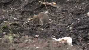 Rat problem in the Okanagan