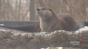 Otter dies at Calgary Zoo