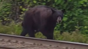 Bear spotted walking near Moody Centre transit station