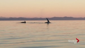 Amazing Orca encounter caught on video