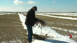 Snow and rain result in harvesting delay in Alberta