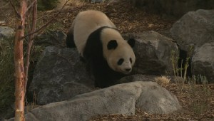 New conservation effort gives Calgary Zoo visitors chance to win trip to see pandas in China