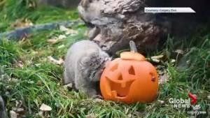 Calgary Zoo animals get Halloween treats (00:57)