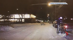 Banff RCMP dash-cam captures cougar crossing street