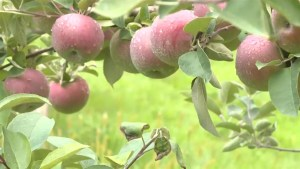 Despite loss farmer says apple season is looking bountiful