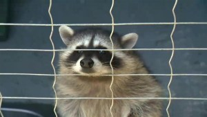 Gang of raccoons attacking family cats in Abbotsford