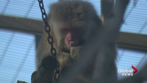 Celebrating 'The Year of the Monkey' with the monkeys at the Calgary Zoo