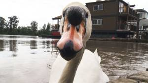 Curious swan checks out Global News camera