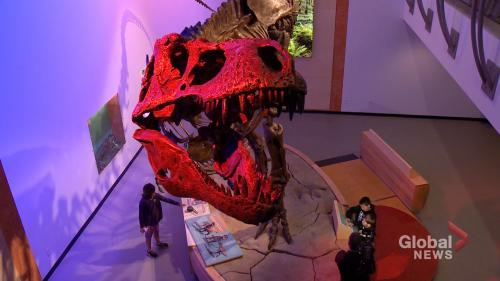 Great Scott: largest T-rex ever discovered on display in Regina