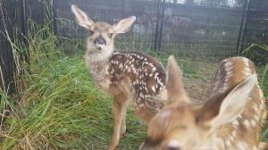 Fawn delivered in roadside C-section makes recovery at B.C. wildlife rescue (00:42)