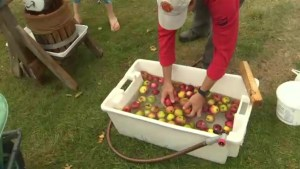 Apple growers see good crop despite dry New Brunswick summer