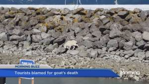Tourists blamed for goat's death