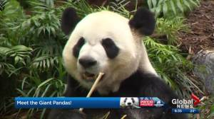 What it's like to take care of a family of pandas