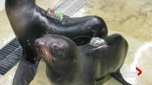 UBC researchers look into the troubles of Northern Fur Seals