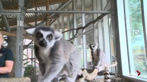 Get to know more about the lemurs at the Edmonton Valley Zoo