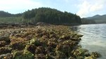 BC researchers discover 3,500-year-old clam garden