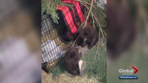 Banff bear cubs find new home in Ontario