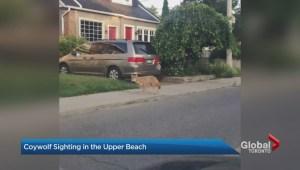 Coywolf: A new hybrid animal spotted in Toronto's Upper Beach neighbourhood
