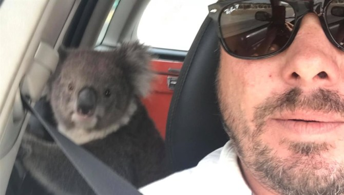 'Come on, mate': Polite Aussie and his dog find koala trying to beat the heat in his car
