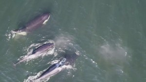 Partial whale watching ban off Washington State