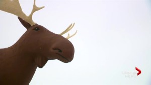 Biggest moose battle continues with summit in Moose Jaw