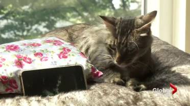 They're an attraction': Vancouver's cat cafe runs out of